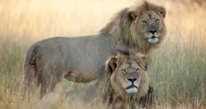 Fratele leului Cecil, ucis şi el în Zimbabwe, în acelaşi parc naţional
