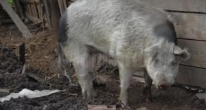 """Caz bizar – panică într-un sat din Moldova, din pricina unui porc domestic: """"Atacă tot ce vede"""""""