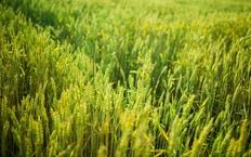 Romania, cel mai mare exportator de cereale din Uniunea Europeana