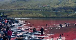 Tradiție revoltătoare! Masacrul balenelor din Insulele Faroe continuă nestingherit