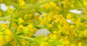 Ceaiul de flori de sânziene, leac magic pentru bolile de ficat