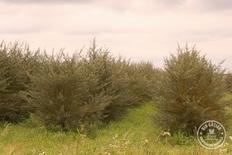 Prima recolta de catina ecologica din Romania
