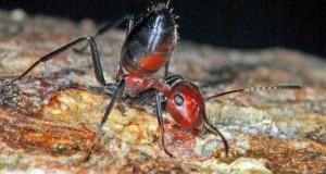 Furnici care explodează pentru a ucide inamicul, o nouă specie descoperită de cercetători