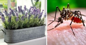 14 plante care țin țânțarii la distanță și miros grozav
