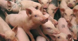 """Pesta porcină din Teleorman, ținută secretă. Directorul DSV nu a vrut să creeze """"dezavantaj"""""""