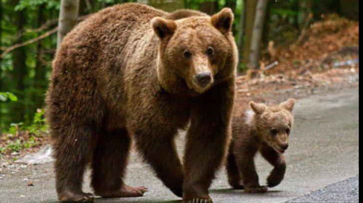 Un bărbat este internat în stare gravă la spital după ce a fost atacat de un urs