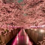 FENOMEN RAR în Japonia. Flori de cireş, în plină toamnă