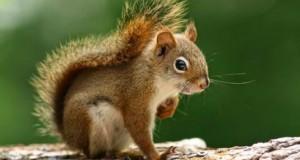 """Motivul BIZAR pentru care o veveriţă a devenit celebritate: """"parcă e Pamela Anderson"""""""