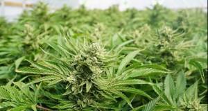 Cum arată o cultură de cannabis care valoarează 50.000 de lei? VIDEO