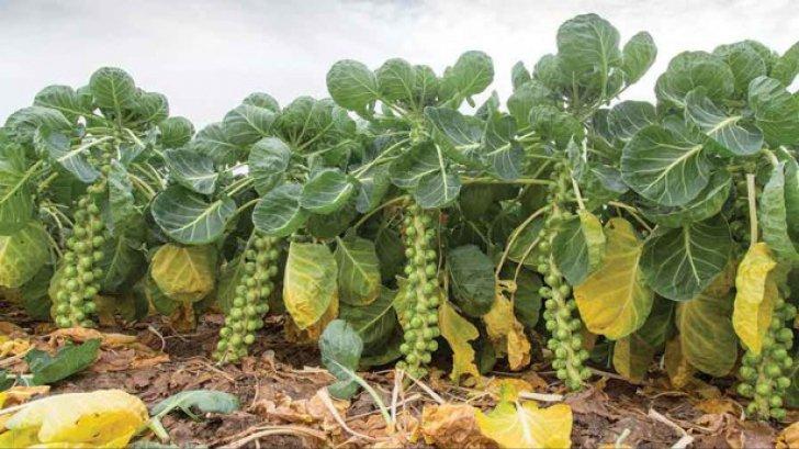 Această legume distruge cancerul. Din păcate, românii nu prea o agreează