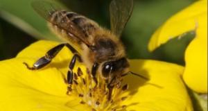 Albinele pot rezolva probleme de matematică. Au un creier minuscul, dar întrec un copil de 4 ani