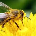 Ce faci dacă te înţeapă o albină. Marea greşeală pe care trebuie să o eviţi